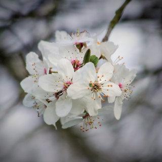 Wikileaks Vault 7 Release: CherryBlossom